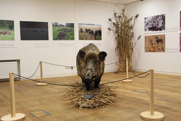 "The exhibition ""Wild Boar – a Real Pig"""